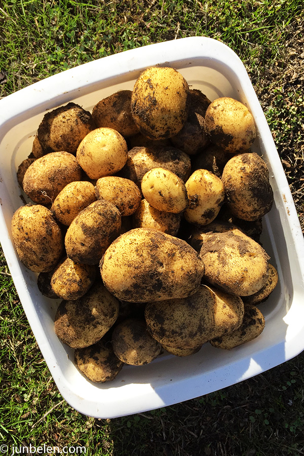 Yukon Gold Potatoes for Shepherds Pie